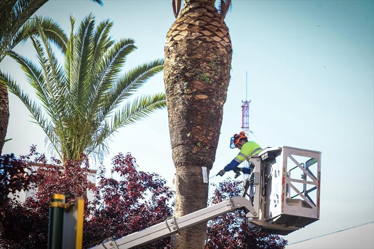 El informativo territorial de Badajoz se hace eco del tratamiento de endoterapia que están utilizando para combatir el Picudo Rojo de la palmera