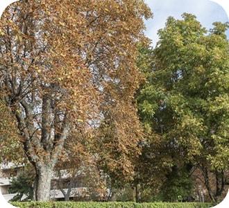 Castaño de indias con Síndrome del árbol urbano