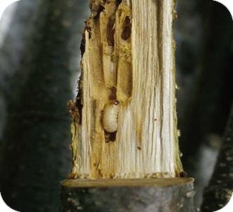 Chopo con gorgojo perforador