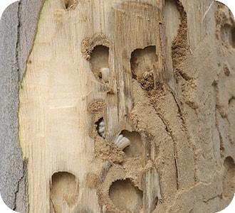 Eucalipto con phoracantha semipunctata