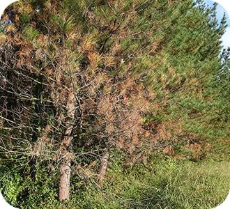 coníferas con síndrome del árbol urbano