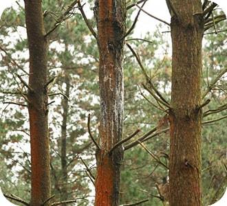 eucalipto con fusarium