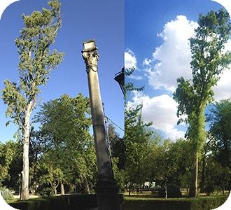 eucalipto con síndrome del árbol urbano