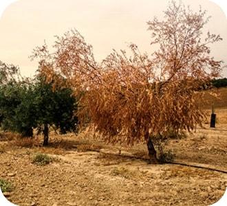 Olivo con verticilium