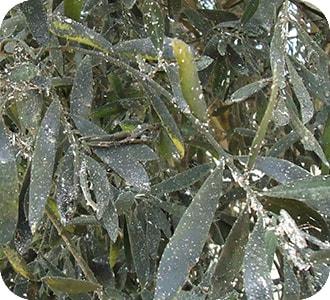 olivo con cochinilla