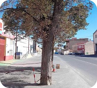 olmo con síndrome del árbol urbano