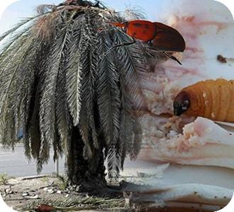 palmaceas con picudo rojo